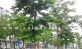 Nơi cung cấp cây công trình uy tín tại TP.HCM
