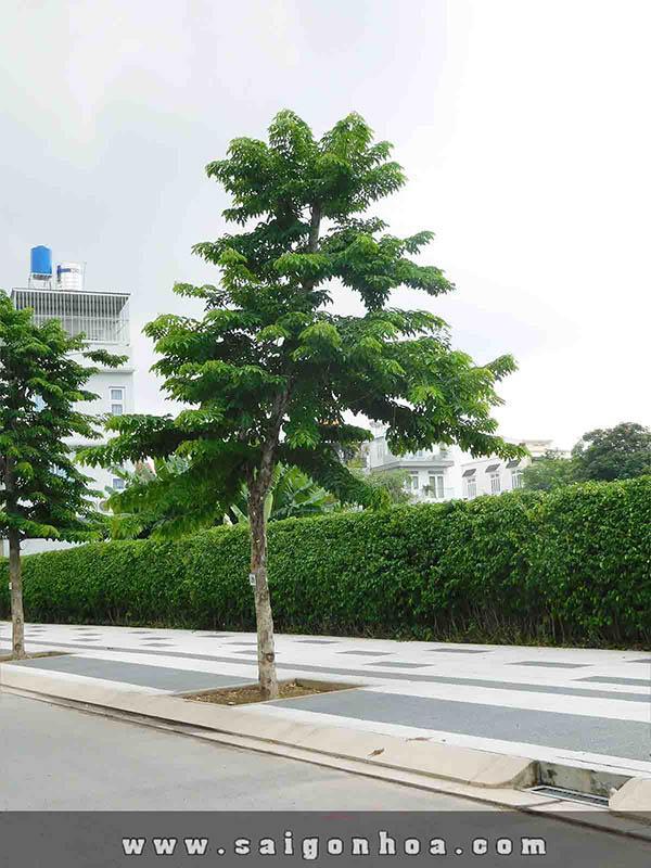 cây giáng hương trồng vỉa hè