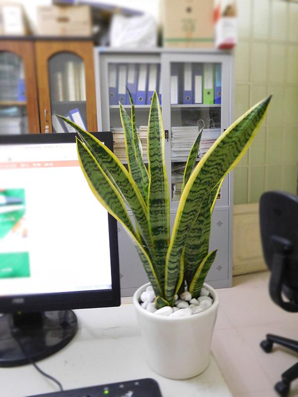 9 loại Cây nội thất - cây văn phòng thông dụng