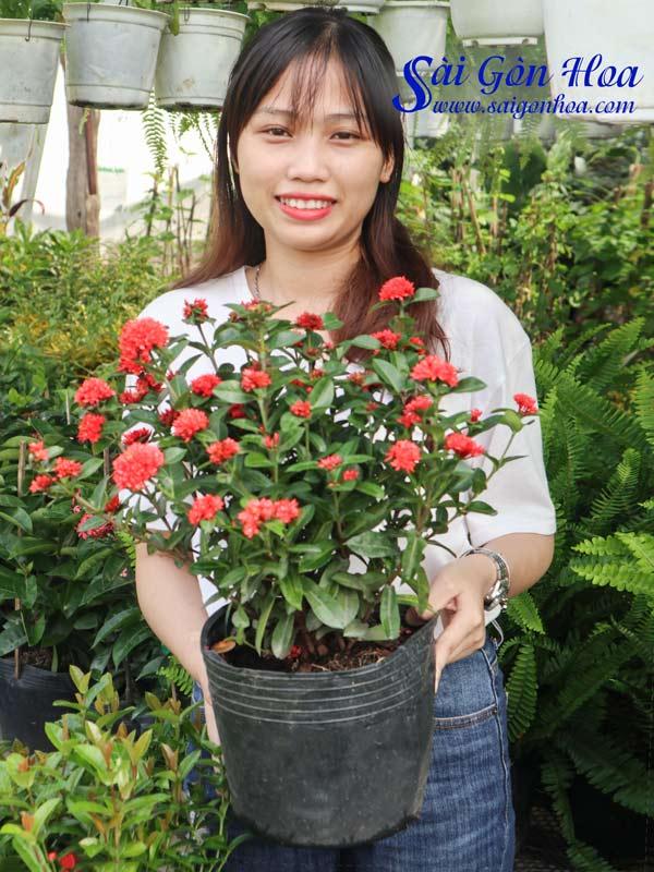 Cay Hoa Trang Sen 1