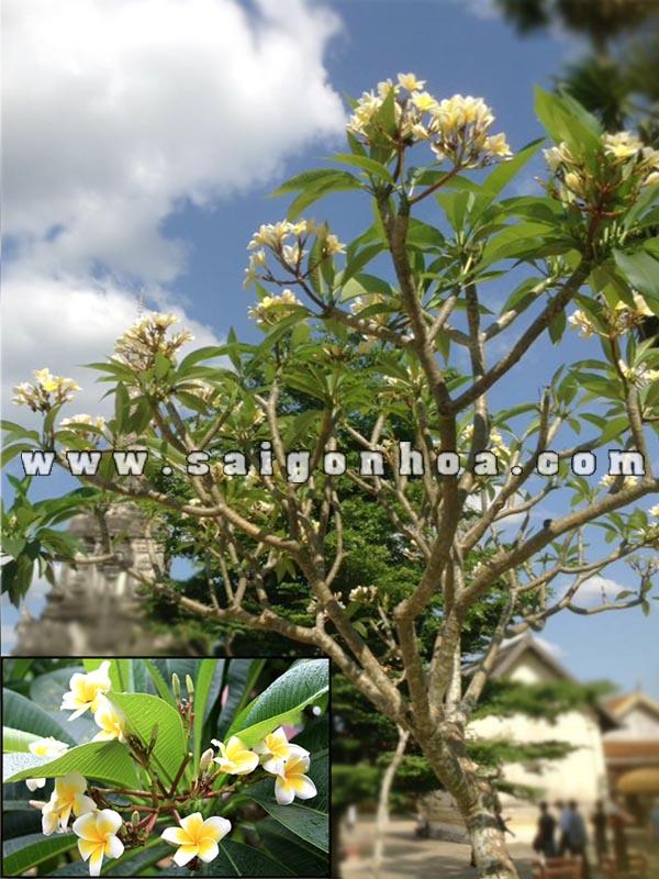 Cay Su Hoa Vang
