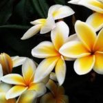 Cây hoa sứ đại Quốc hoa của Lào
