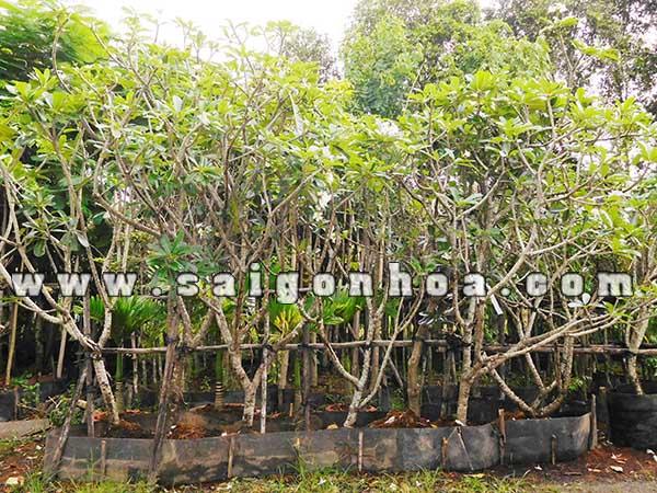 Vuon Uom Cay Su Dai Hoa Trang