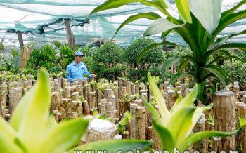 Cung Cap Si Cay Phat Tai