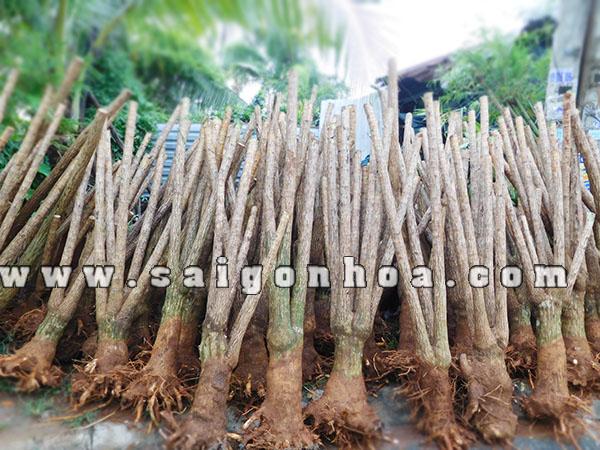 kiếm tiền tỷ nhờ trồng cây phát tài