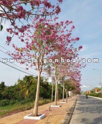 Cay Ken Hong Trong Duong Pho