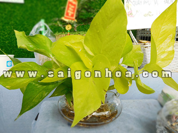 Trau Ba Vang Thai Trong Nuoc