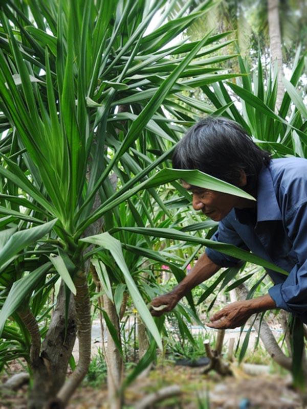 cách trồng và chăm sóc cây phát tài