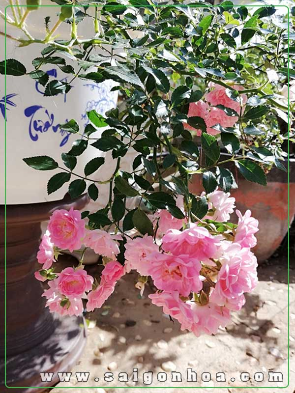 Cây Hoa Hồng Ra Hoa