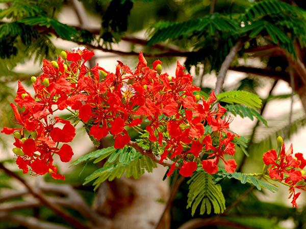 Kỹ thuật trồng và chăm sóc cây phượng vĩ