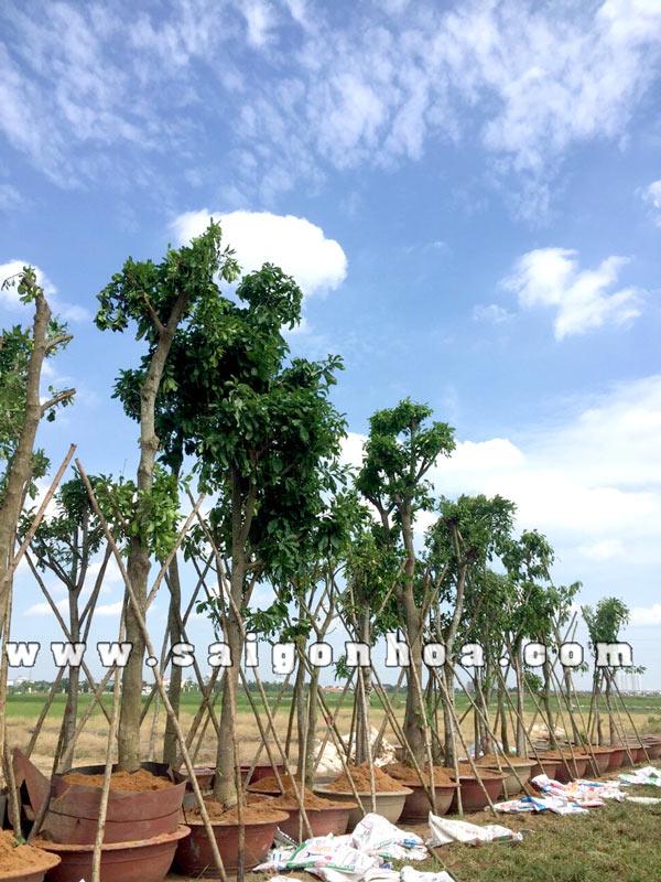 Vị Trí Trồng Cây Lộc Vừng Hợp Phong Thủy