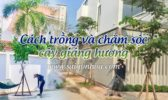 Cach Cham Soc Cay Giang Huong