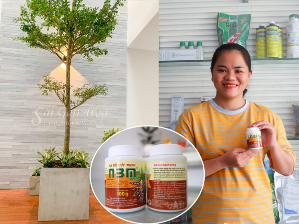 Combo Chậu Bàng Đài Loan Và Thuốc Kích Thích Ra Rễ