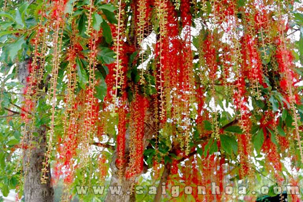 Những loài cây bóng mát làm tăng vẻ đẹp của ngôi nhà
