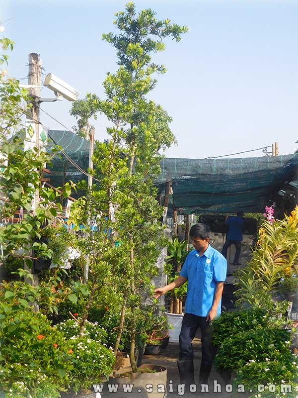 Cay Van Nien Tung 1