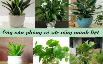 Cay Van Phong Co Suc Song Manh Liet