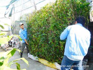 Nơi Cung Cấp Và Thi Công Tường Cây Gừa Đẹp Tại TP.HCM