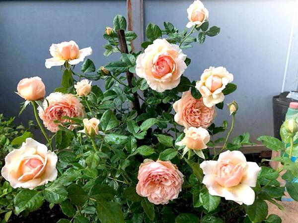 hoa hong huong dan trong cay tren san thuong