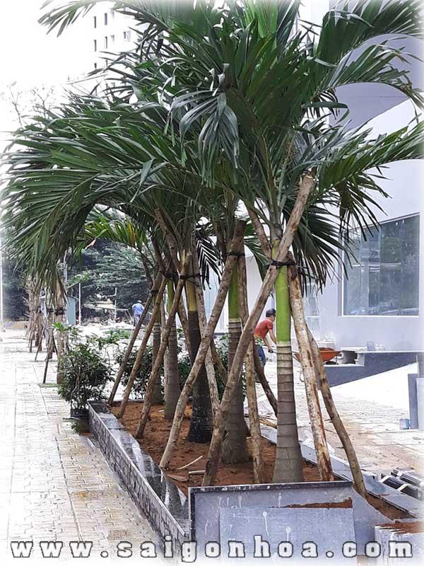 Cay Cau Be Trang Cong Trinh