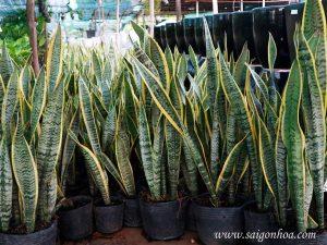 Nơi cung cấp cây lưỡi hổ hàng đầu tại TpHCM