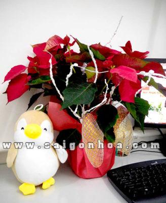 Cay Trang Nguyen Qua Noel