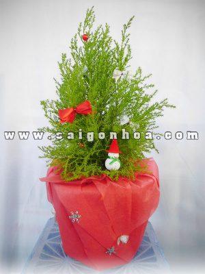 Cây Tùng Thơm Quà Tặng Noel