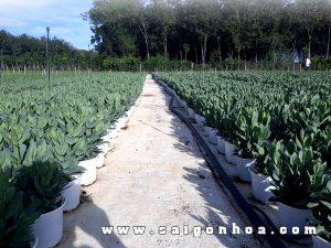 Ban Hoa Cat Tuong