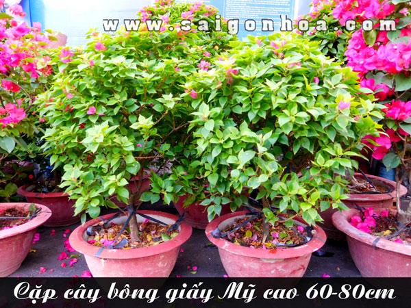 Cap Chau Cay Bong Giay My