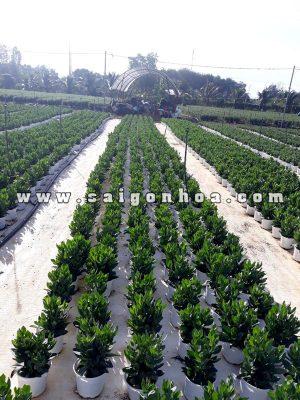 Cay Hoa Cat Tuong Ngay Tet