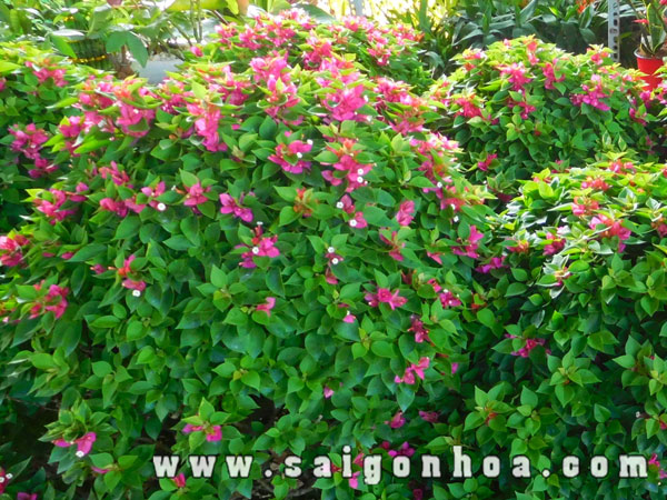 Hoa Cay Bong Giay My