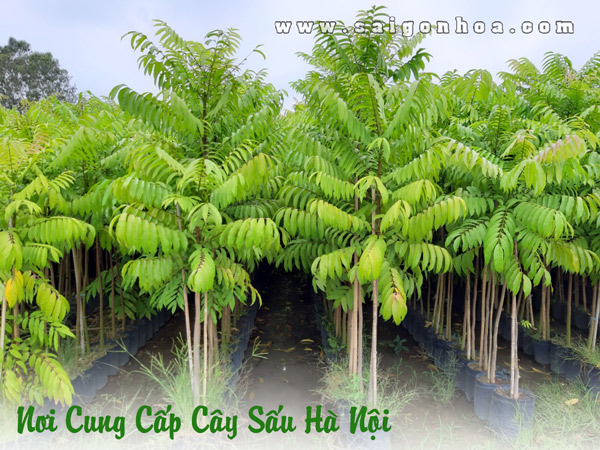 Cây Sấu Hà Nội
