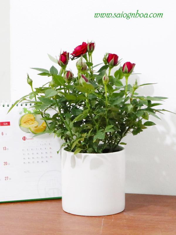 Hoa Hồng Tỉ Muội quà tặng Valentine