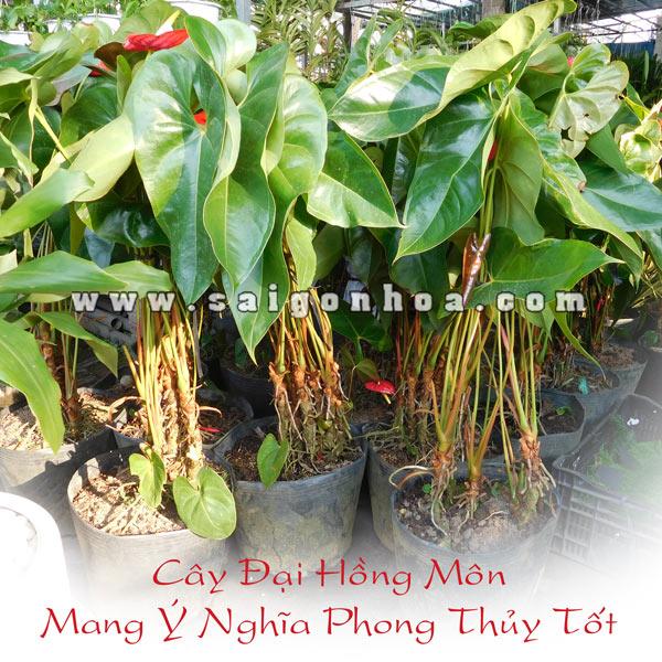 Ban Cay Hong Mon Lon