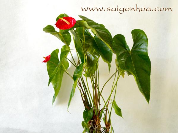 Cay Hoa Dai Hong Mon
