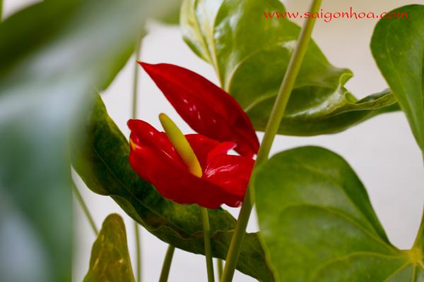 Hoa Cay Dai Hong Mon