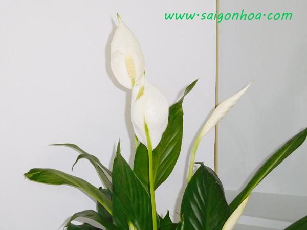 Hoa Cay Lan Y