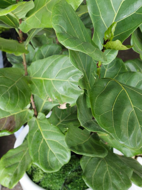Cung cấp cây bàng sing 1 nhánh
