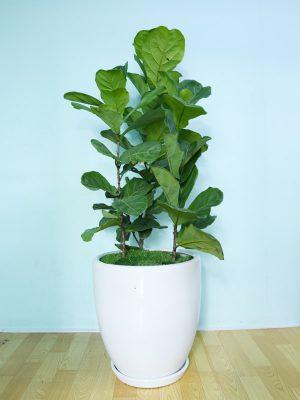 Chăm sóc cây bàng sing trồng nội thất