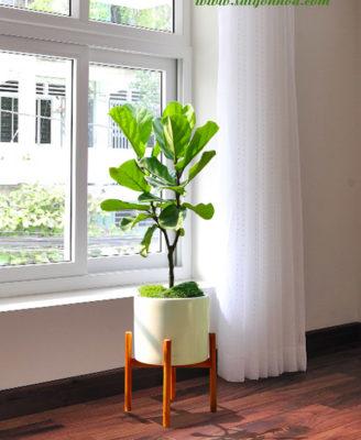 Chậu cây bàng sing đặt văn phòng tạo không gian đẹp