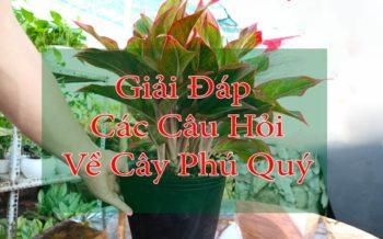 Cau Hoi Ve Cay Phu Quy
