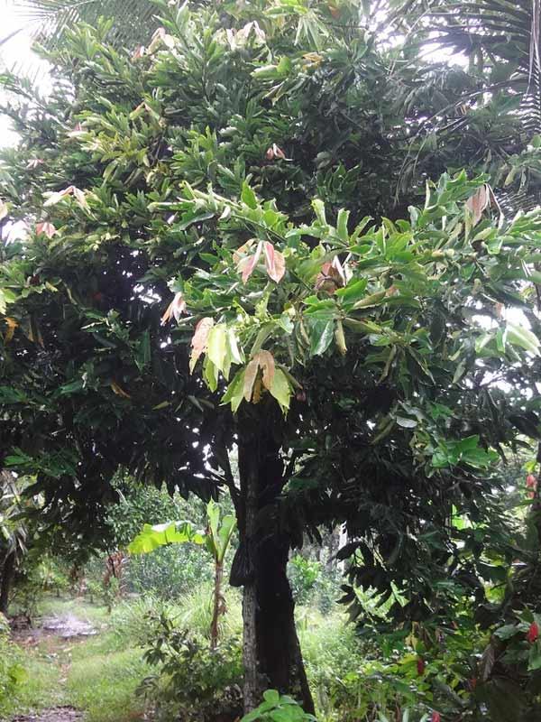 Cây Hồng Nhung Trồng Sân Vườn