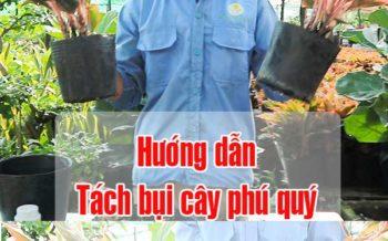 Huong Dan Tach Bui Cay Phu Quy