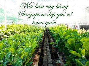 noi ban cay bang singapore