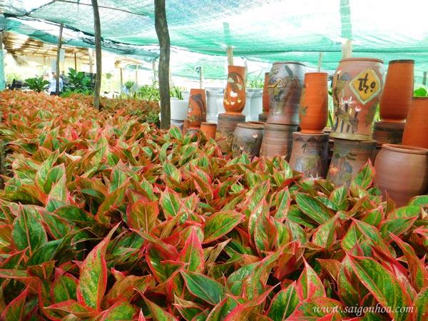 Địa điểm để mua cây phú quý tốt nhất toàn quốc