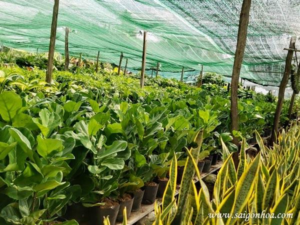 Nơi bán cây bàng Singapore đẹp giá rẻ toàn quốc