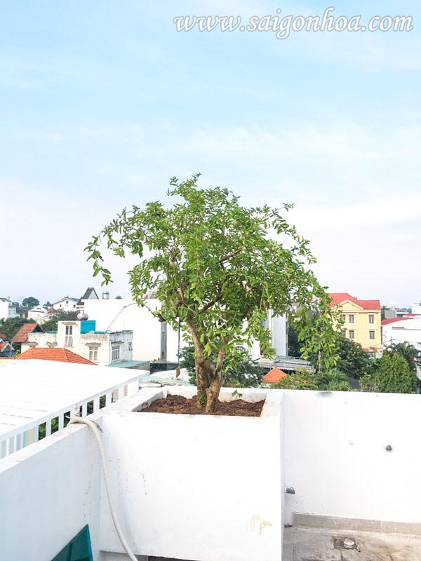 Cay So Ri Trong San Thuong