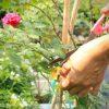 chăm sóc bón phân phù hợp cho chậu hoa hồng nhà biệt thự