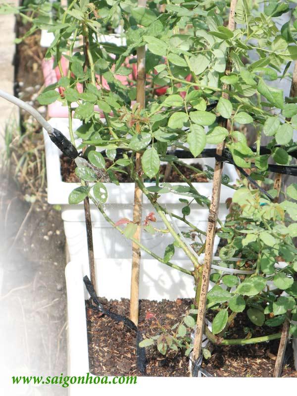 Khi đất ướt hoặc ẩm thì không nên tưới khiến rễ cây dễ bị úng.