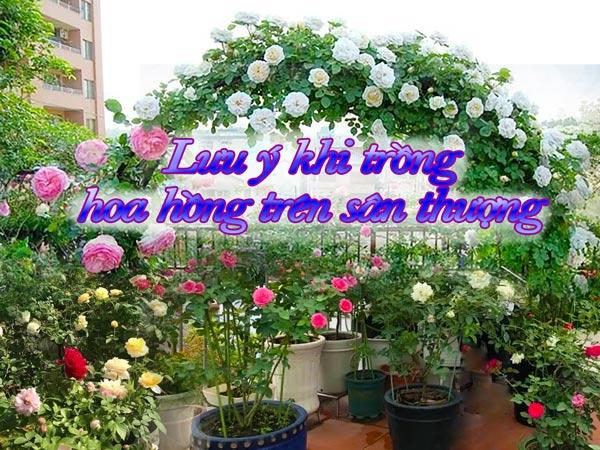 Chọn và trồng hoa hồng phù hợp cho sân thượng nhà phố