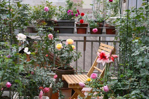 Trồng cây hoa hồng trong chậu đặt trên sân thượng nên bổ sung đất mới 6 tháng/ lần